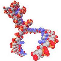 human DNA double helix