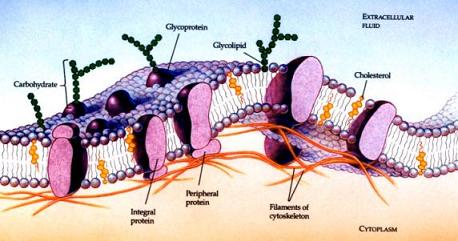diagram displaying glycoformations on cell surface